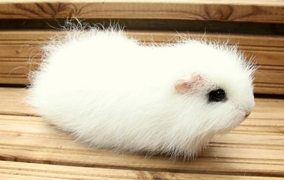 Oh My Apple Pie - Ch-teddy (Swiss teddy) crest white/black Guinea-pig (reminds me of the Hotot rabbit...) | Underground's marsut: kesäkuuta 2013