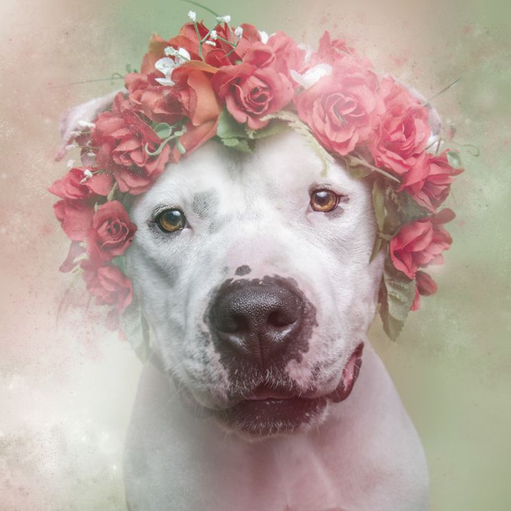 """Sophie Gamand's """"Flower Power"""" aims to help pit bulls awaiting adoption find a home (11/11)"""