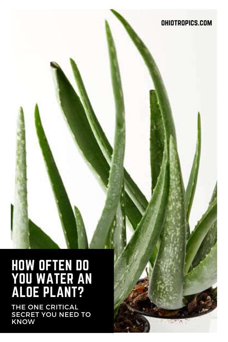 How Often Do You Water An Aloe Plant The 1 Secret In 2020 Aloe Plant House Plant Care Plants