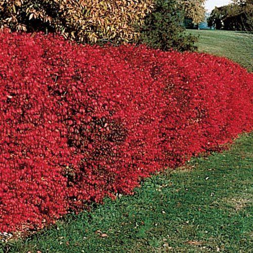 Buy Dwarf Burning Bush Hedge at Michigan Bulb | Landscape ...