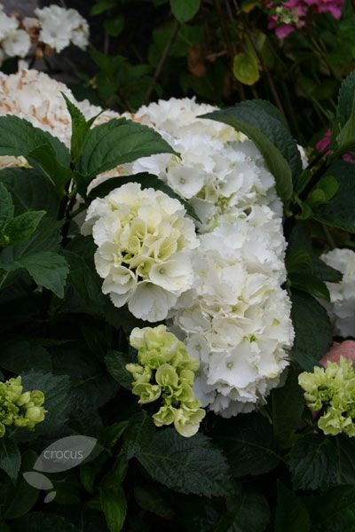 Hydrangea macrophylla 'Zebra' (PBR) -  The glowing white flowerheads and lush green foliage provide a brilliant contrast to the near-black stems. This new hydrangea is perfect for adding a burst of colour to a partially shaded bed and will also make a fine, informal, flowering hedge. Their long flowering period throughout summer and autumn and their tough and undemanding nature, means that these wonderful deciduous shrubs should be top of most gardeners wishlists.