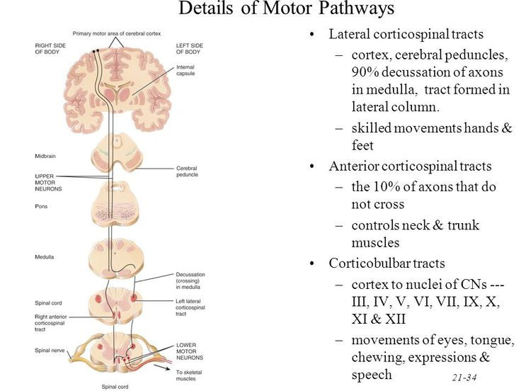 brain and spinal cord diagram jeep cherokee wiring 21-35 location of direct pathways lateral corticospinal tract anterior ...