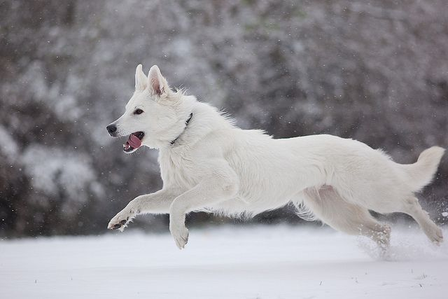 Swiss White Shepherd - a breed developed from the white GSD - although the berger blanc suisse is now a breed in its own right, you can still see the similarities!