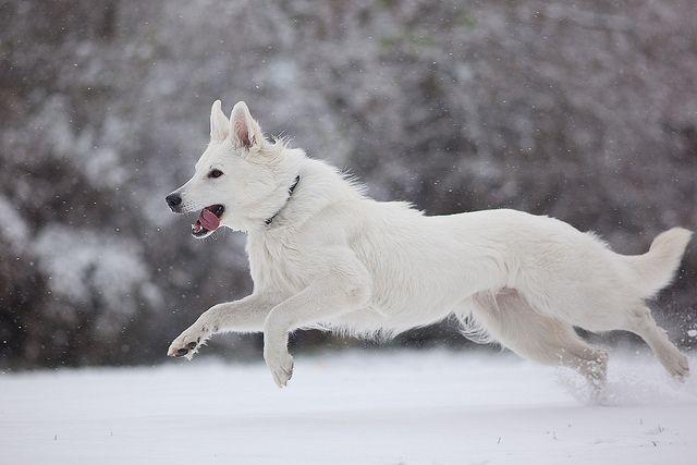 Swiss White Shepherd- so my next pup!!
