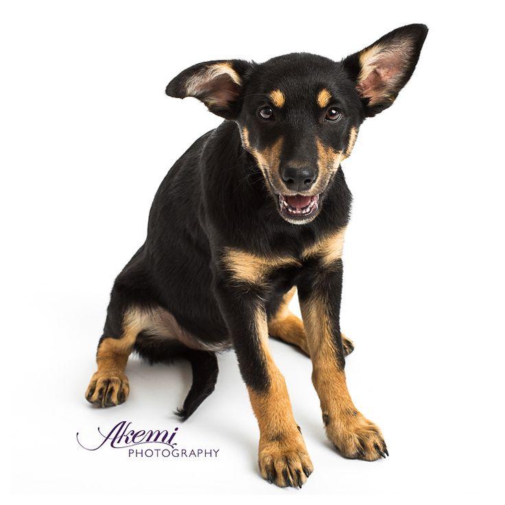 Miss Gracie | Akemi Photography    #PetPhotography #DogPhotography