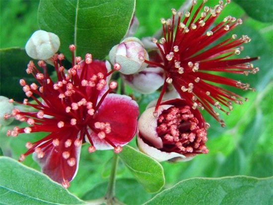The feijoa tree is a popular #fruit tree in #NewZealand. It blooms in spring and the fruit s start ripening in March. http://www.new-zealand-vacations-in-west-auckland.com/online-puzzles.html