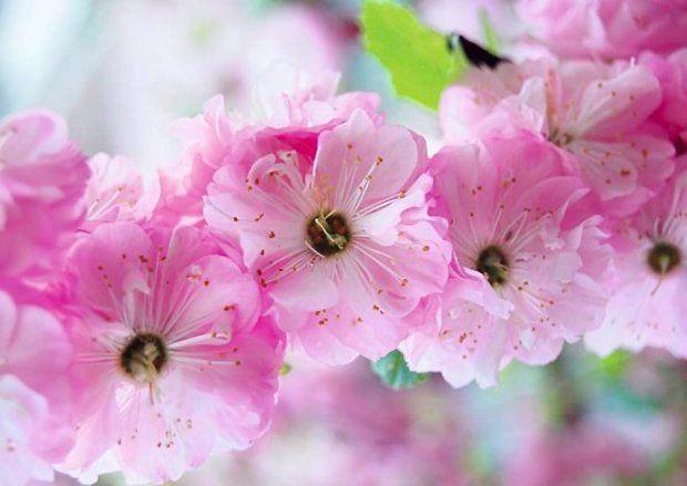 Kwiaty migdałka trójklapowego (Prunus triloba) zachwycają urodą. Co ciekawe, popularna jest ich forma pełna - ten krzew o kwiatach pojedynczych jest kolekcjonerskim rarytasem