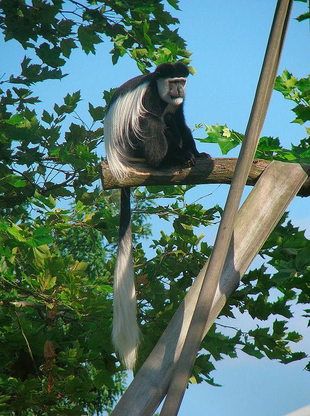Angolan Gereza, Gereza angolańska, Colobus angolensis, monkey, zoo, black and white
