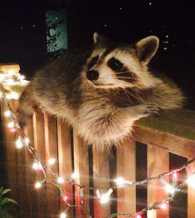 A Raccoon Sitting Pretty at Night