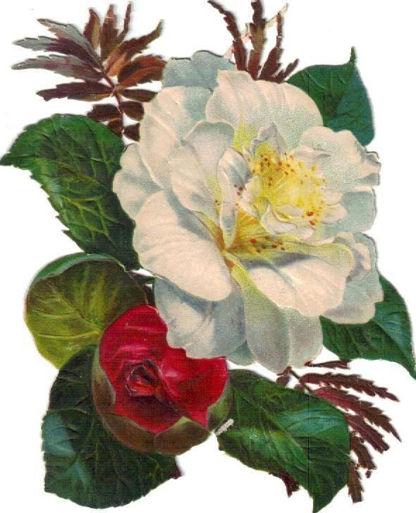 Victorian Scrap Large White Camellia