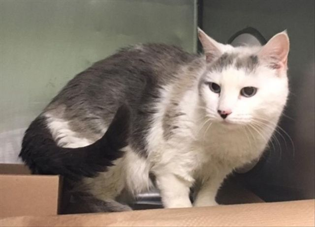 Owner Dumped right before holidays. Tom #16085 TAMMY aka TOM – 16085  #Urgent  #Manhattan #NewYork 12 year old TAMMY (Tom) is a spayed girl whose owner dumped right before the holidays! She is in need of a dental follow up and a furever home!!