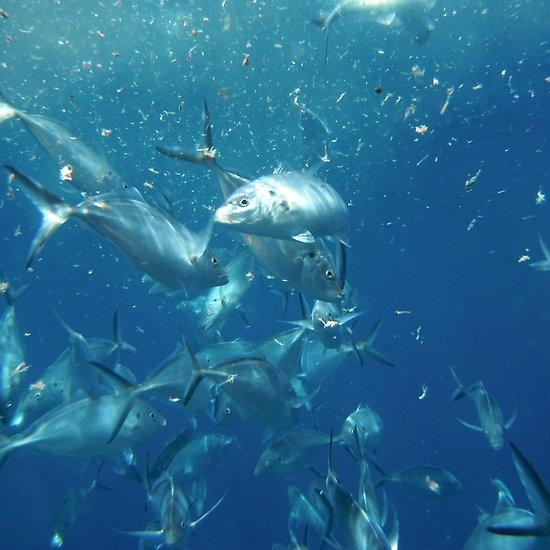 Feeding Frenzy, Neptune Island, South Australia