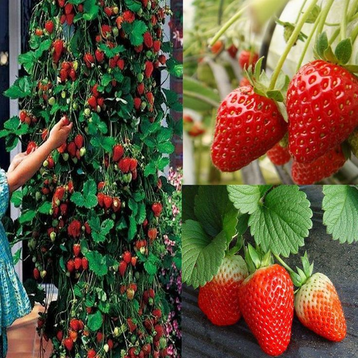Red 200Pcs Climbing Strawberry Seeds Fruit Vegetables 400 x 300