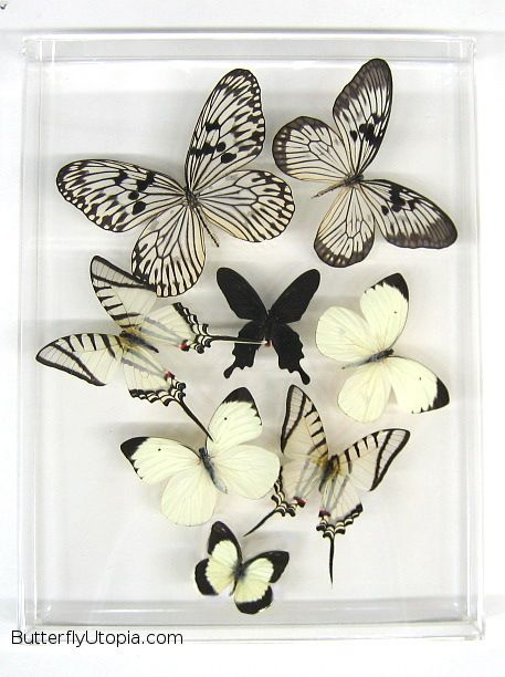 butterflies-luv: Beautiful Butterflies, Butterflies Ideas, Black N White, Butterflies Black And White, Butterflies Curiosit, Butterflies Collection, Black White, White Butterflies, Paper Butterflies