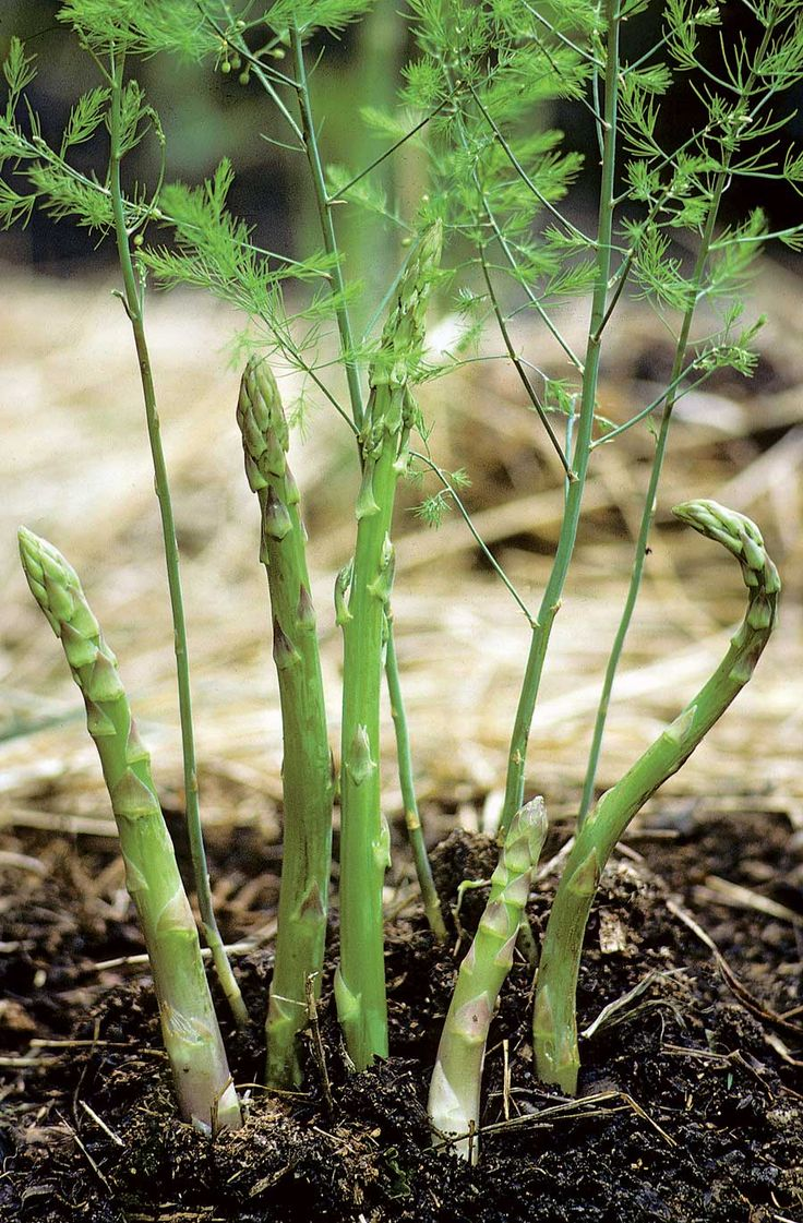 Growing Asparagus Pictures images