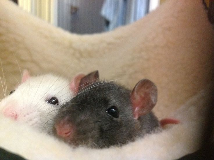 Fancy rats cuddling - photo#13