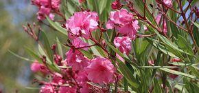 Adelfa: los cuidados imprescindibles de esta planta