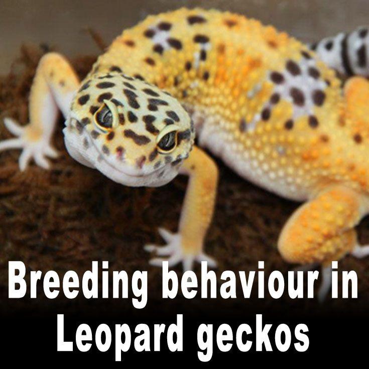 Breeding behaviour in Leopard geckos