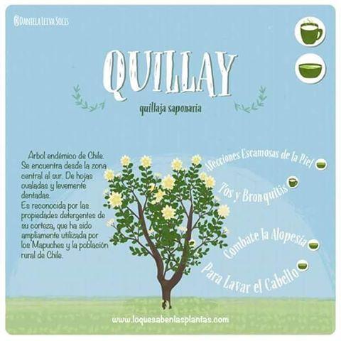 Dentro de los árboles más usados de los que se tiene registro se encuentra el #quillay que por las propiedades detergentes de su corteza, ha sido mayormente utilizado para lavar el cabello #arbolesmedicinales #plantasmedicinales #plantas #ilustracion