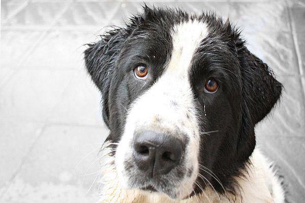 La caida de pelo en perros es una problemática común que sufren todos los dueños alrededor del mundo. Entra aqui y conoce la forma sencilla de controlarla.