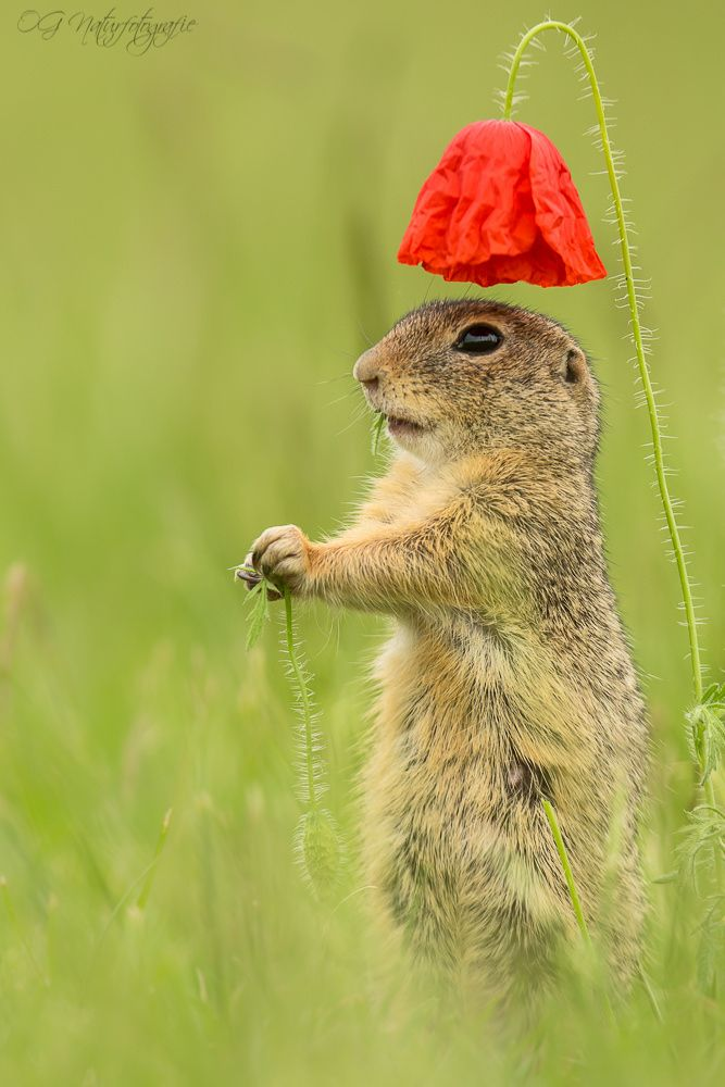~~Stand to attention! | ground squirrel under a red poppy | by Oliver Geiseler~~
