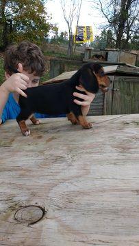 Beagle puppy for sale in BEDFORD, VA. ADN-50162 on PuppyFinder.com Gender: Female. Age: 7 Weeks Old