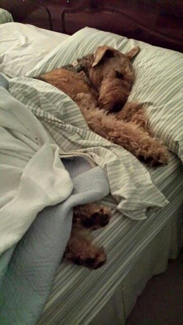 Good Night, Moon the Airedale...