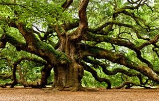 ANGEL OAK, John's Island SC - If you have not been in the presence of this tree, you must make the pilgrimage!