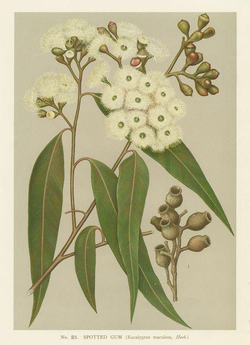 gum tree botanical print - Google Search