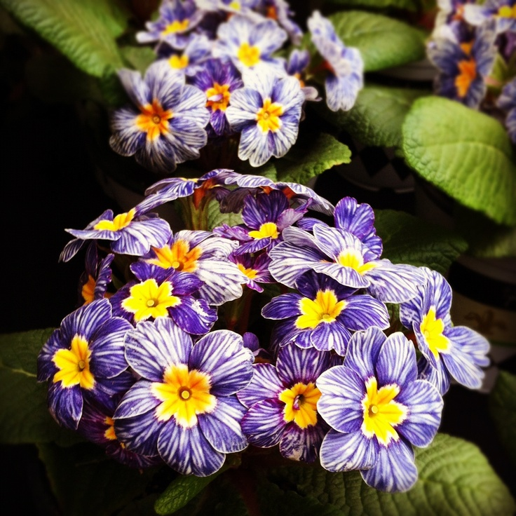 Primula Blue Zebra - a Hort Couture Introduction.  A must have for spring 2013