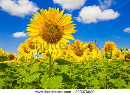 Beautiful summer landscape with sunflowers in Umbria. #Sunflowers #Umbria #Travel #Landscape #Summer #Holidays #Card #Rural #Agriculture #Flowers #Sky #Tourism