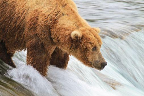 Alaskan Brown Bear fishing Brooks falls