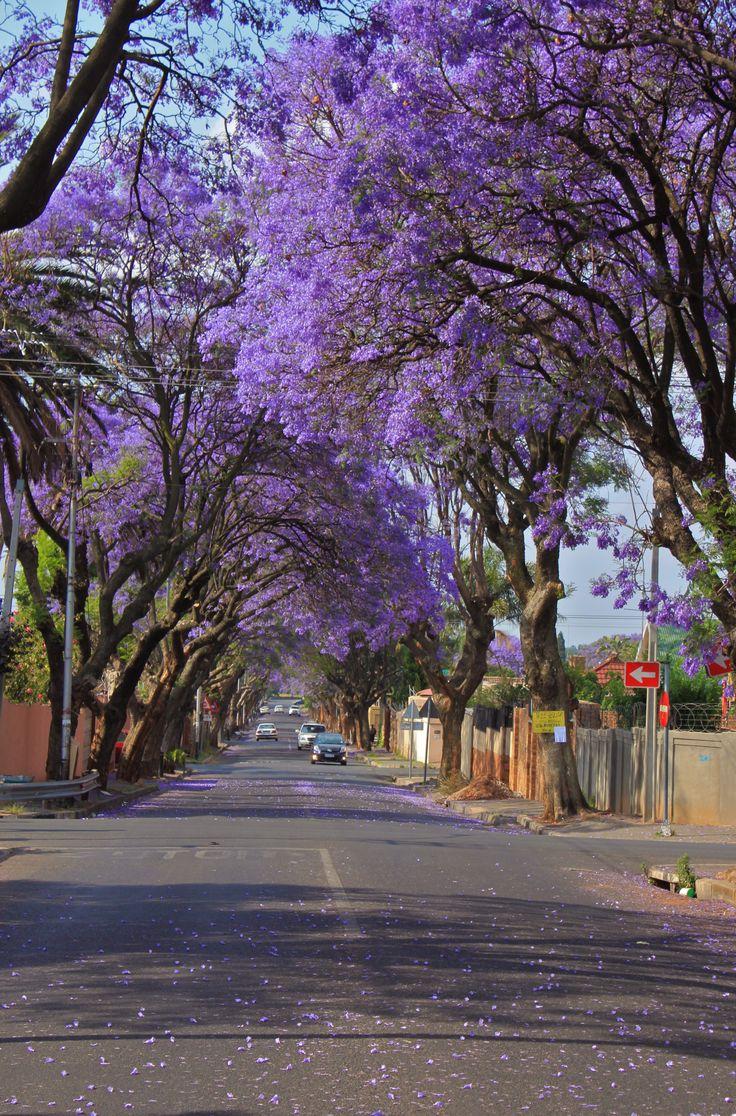 Johannesburg Jacarandas