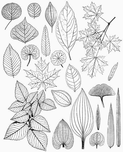 Leaves Leaf Drawings Victorian Nature Illustrations Black White