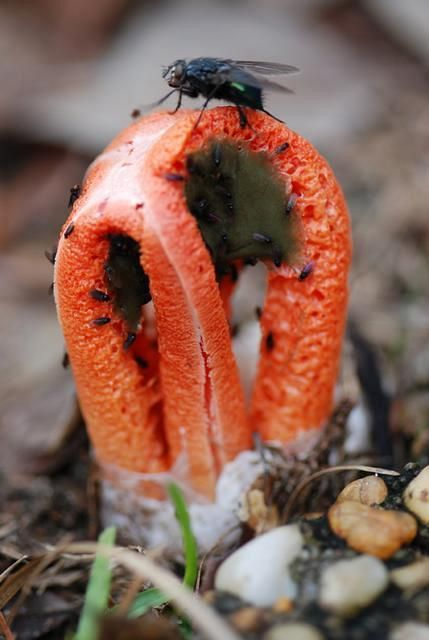 """<strong>Columned Stinkhorn</strong> with flies <em>Clathrus columnatus</em> Height: 3"""" Milton, FL December 26, 2008  This Stinkhorn is being visited by flies which will spread its spores."""