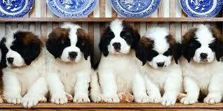 Resultado de imagen para perros san bernardo