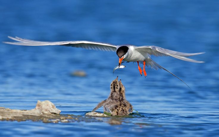 The 25+ Best Arctic Tern Ideas On Pinterest
