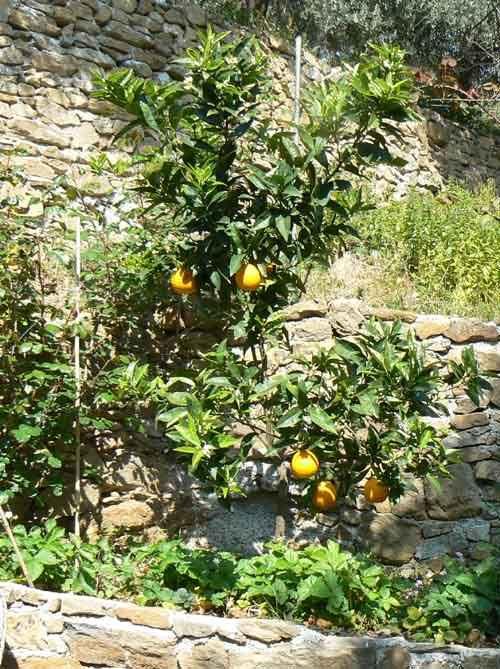 Lecaprettetibetane: Arancio, tulipani