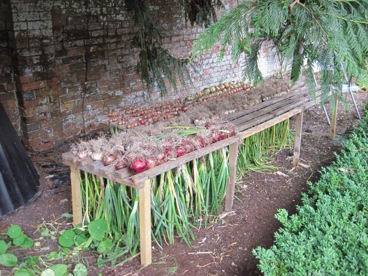 How to Harvest, Cure and Store Onions.....