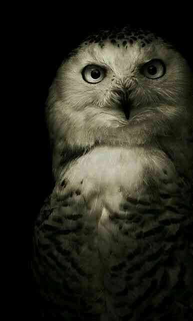 The owl in the dark