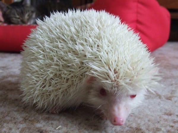 albino hedgehog | Albino African Pygmy Hedgehog ...