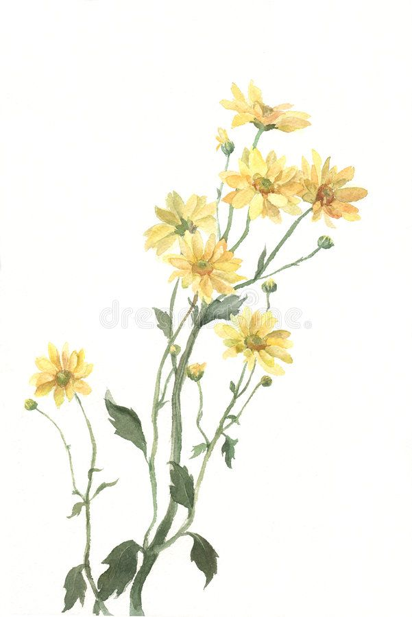 Yellow Chrysanthemum Flowers Watercolor Painting The Hand Drawn Watercolor Of Y Spo Yellow Flowers Painting Watercolor Flowers Watercolor Flowers Paintings