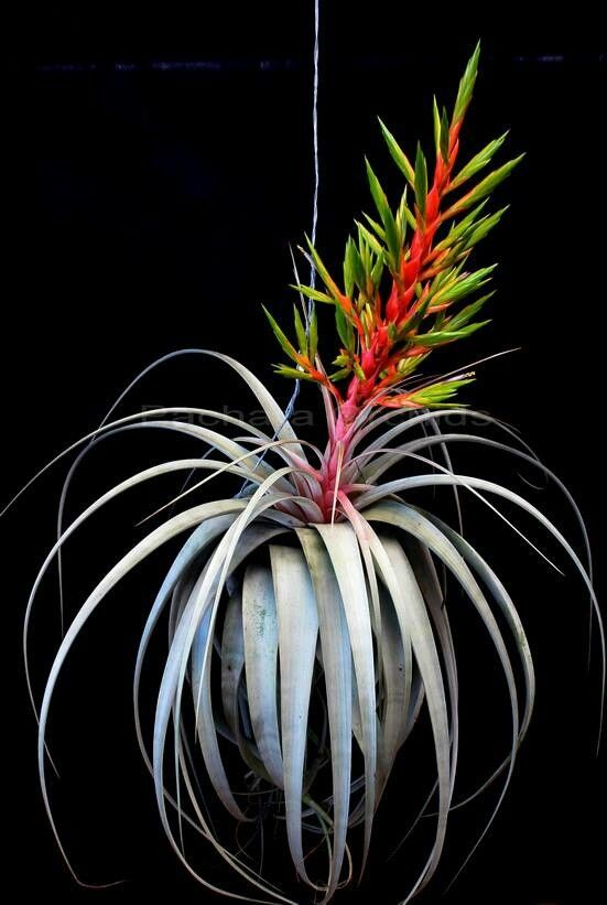 Tillandsias, or Air Plants, are a perrenial flowering plant in the Bromeliad family. Learn to care for Bromeliads: http://www.houseplant411.com/houseplant/bromeliad-how-to-grow-care-tips