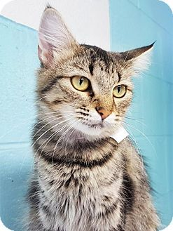 Prattville, AL - Domestic Mediumhair. Meet Lulu 25310, a cat for adoption. http://www.adoptapet.com/pet/16763282-prattville-alabama-cat
