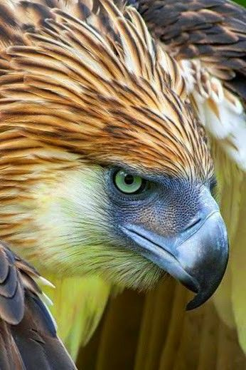 The Philippine Eagle........WHEN HE'S MAD, HE VERY, VERY MAD AND THIS IS ONE OF HIS -- HORRID --  DAYS..............ccp