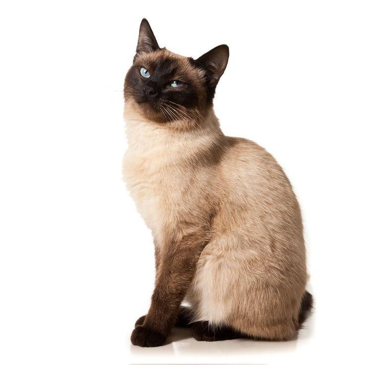 siberian cat kitten