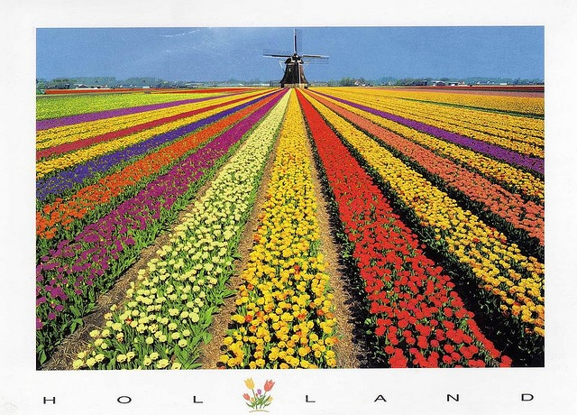 Tulips and windmills in Holland! Dad always talks about when he was there gotta check it out!