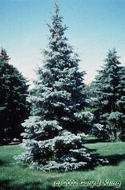 Hoopsi Blue Spruce Backyard Oasis Pinterest Blue