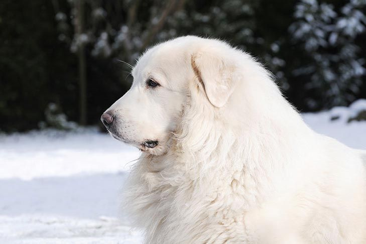Great Pyrenees Dog Breed Information Great Pyrenees Dog Great
