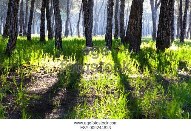 Stone Pine forest in the morning. Donana National Park